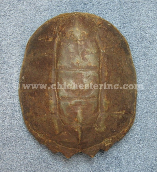 Snapping turtle shell - photo#12