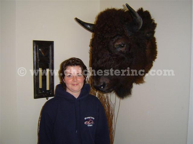 Buffalo Head Mount or Taxidermy Buffalo