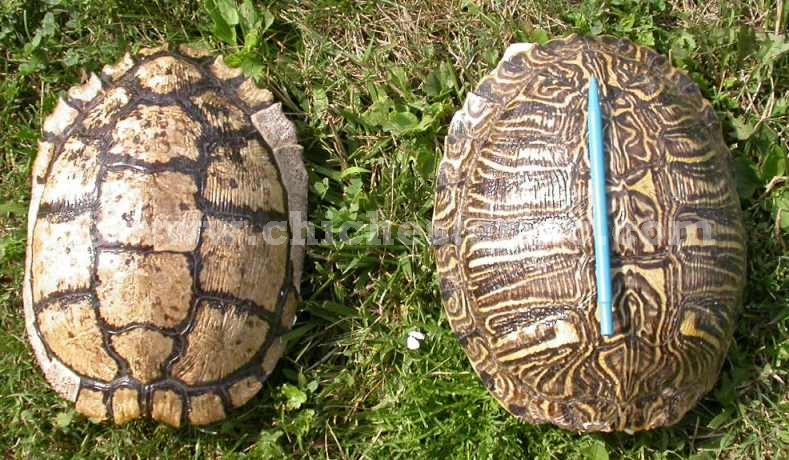 Red Ear Turtle Shells and Red Slider Turtles