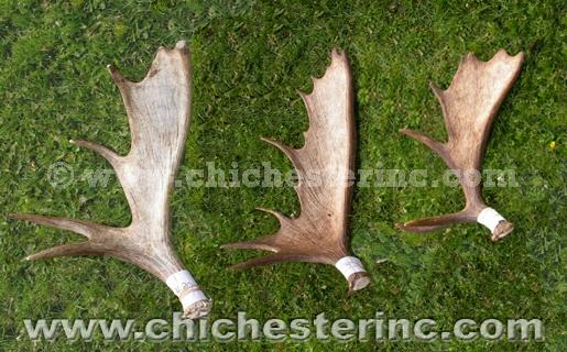 Whole Moose Antler
